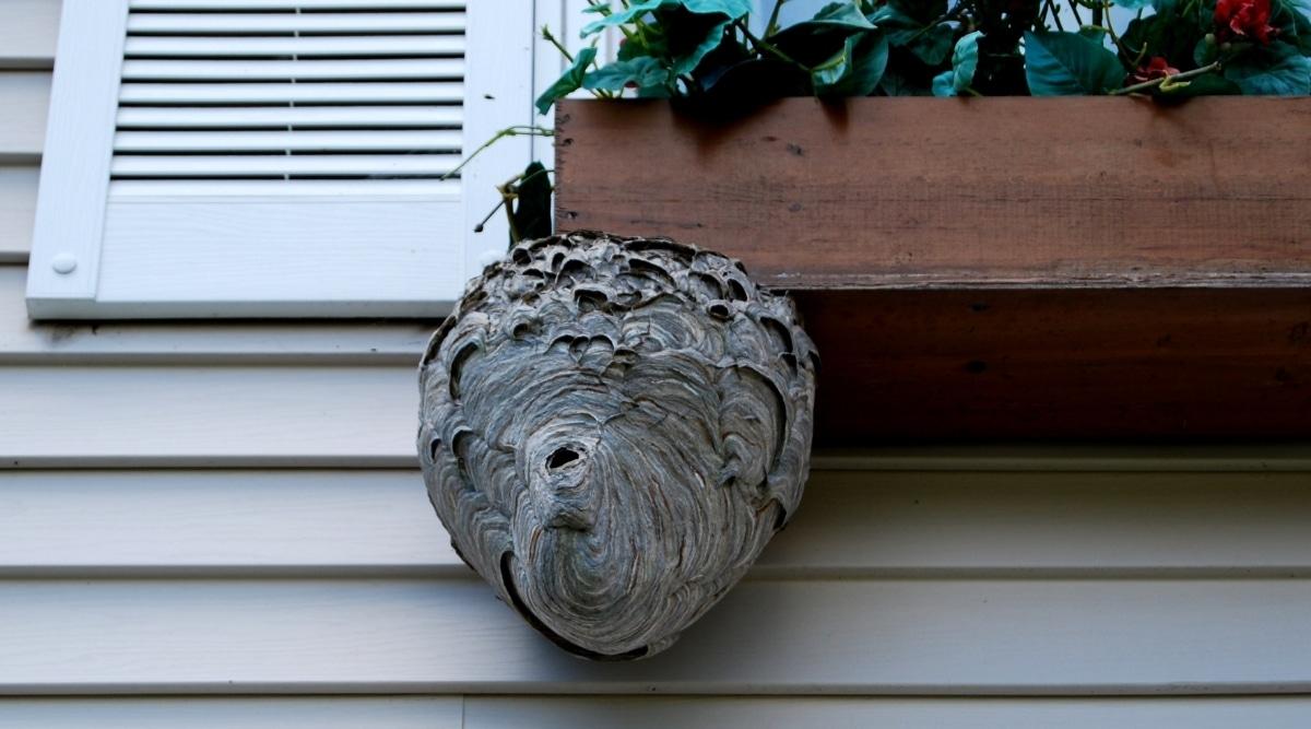 Hornets nest near home