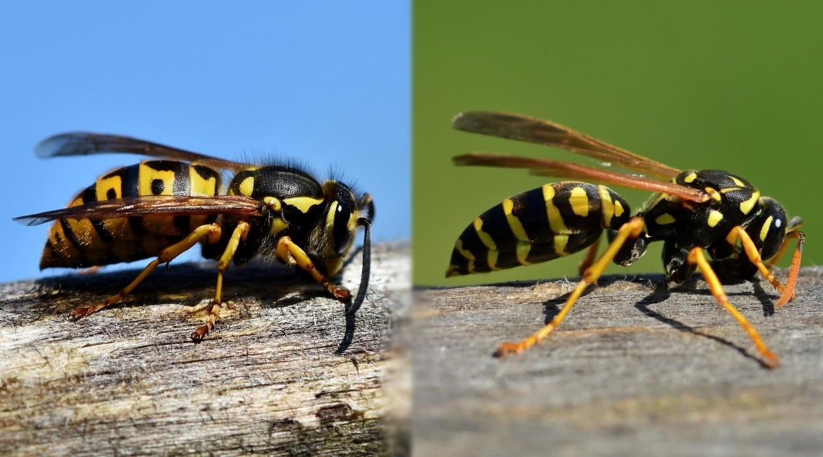 Hornet vs. Yellow Jacket on Wood
