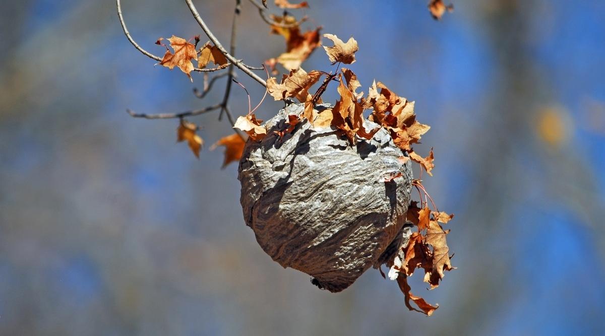 Hornets Nest in Tree Branch