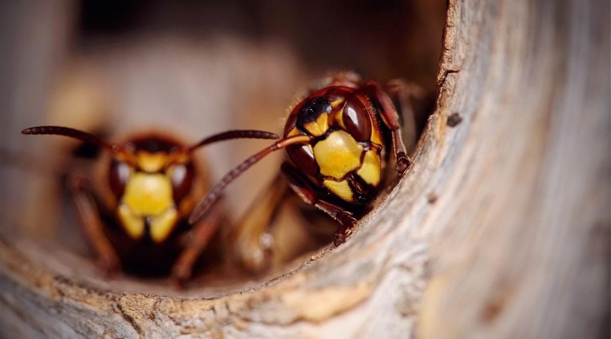 Hornets in Nest