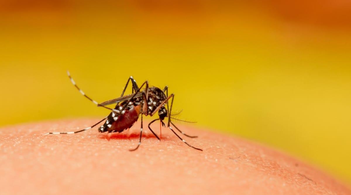 Mosquito feeding on human skin.
