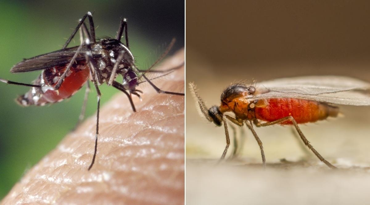 Mosquito vs. Gnat Bugs