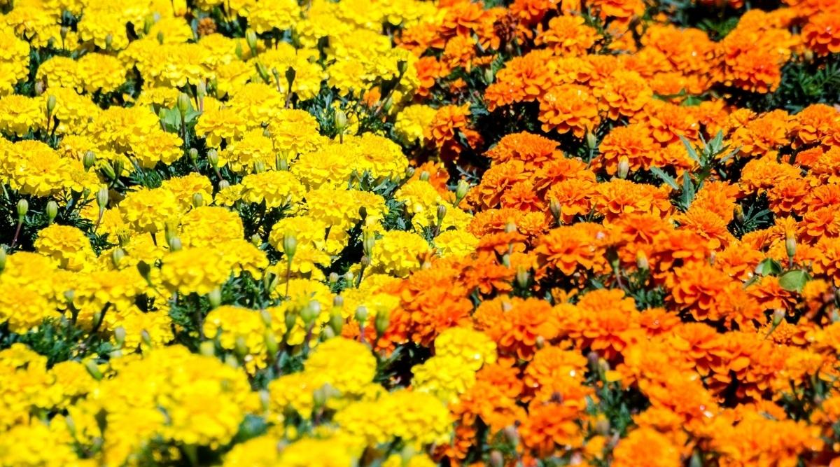 Multiple Marigold Flowers Orange and Yellow