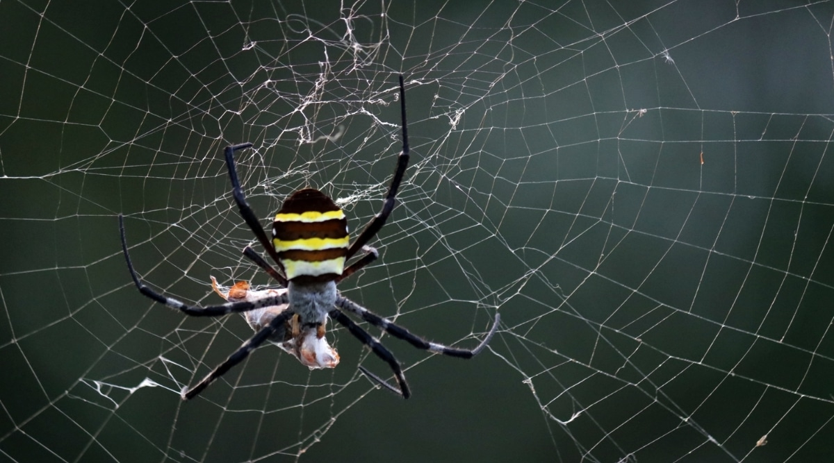 Spider Eating Food