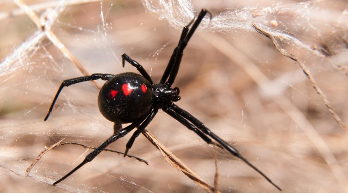 Spider in Strategic Location