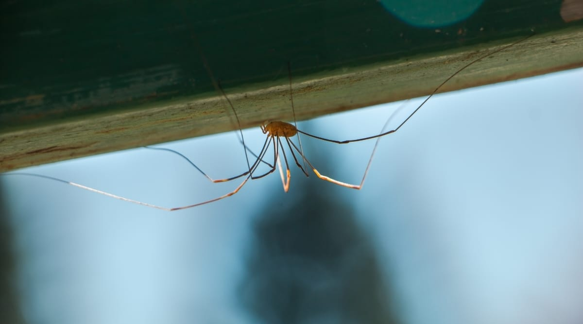 Using Tea Tree Oil to Prevent Spiders