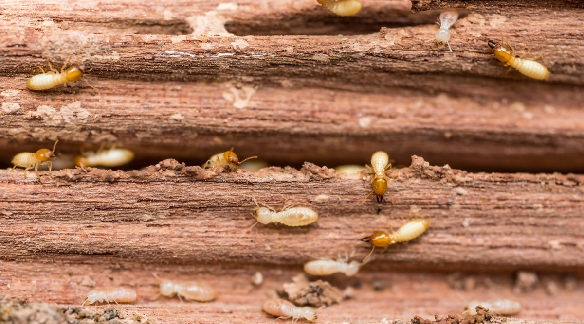 Termites Eating Wood Before Treatment
