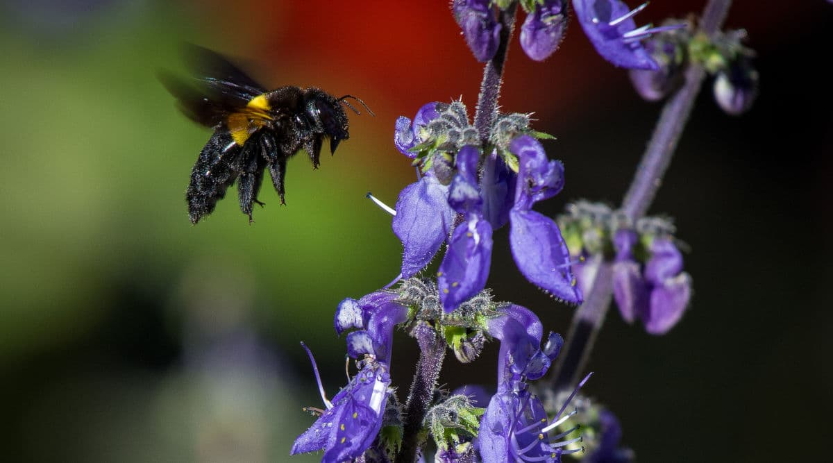 Carpenter bee hovering near purple flowers