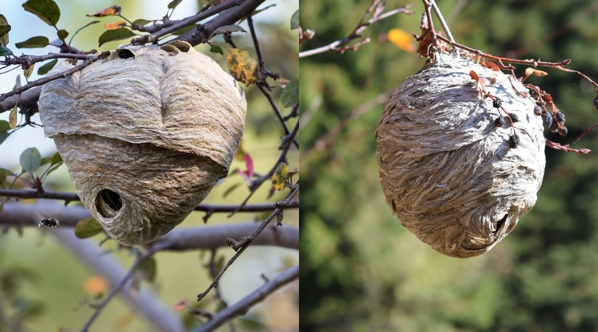 Yellow Jacket and Hornets Nest