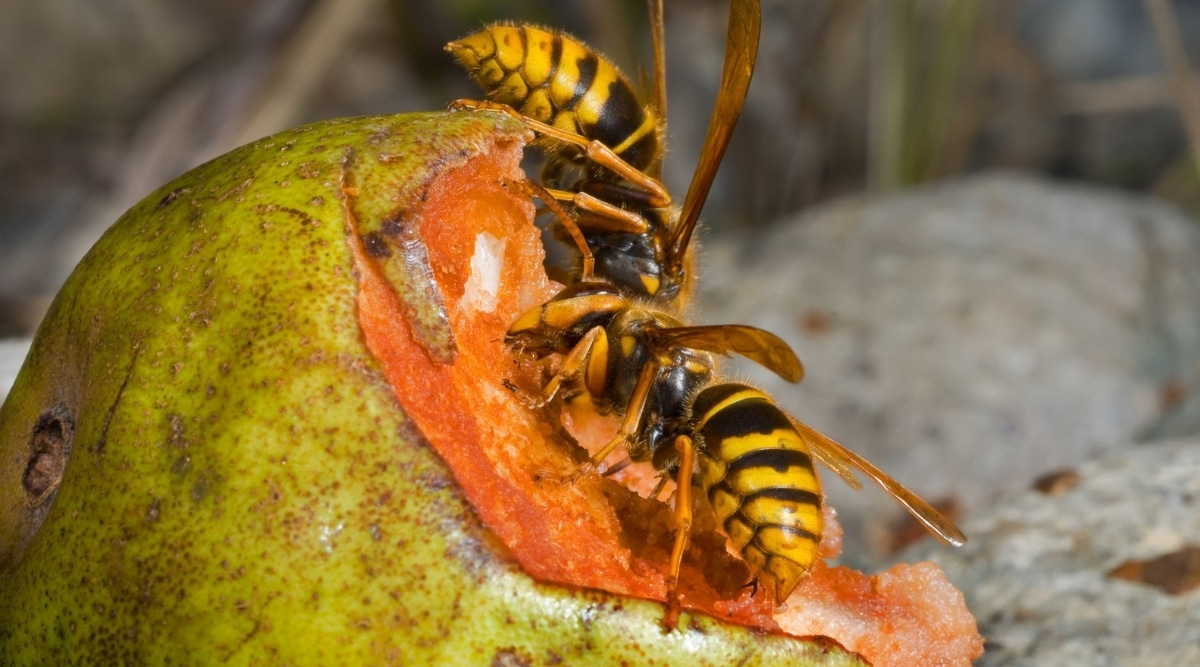 Yellow Jackets Eating a Pear