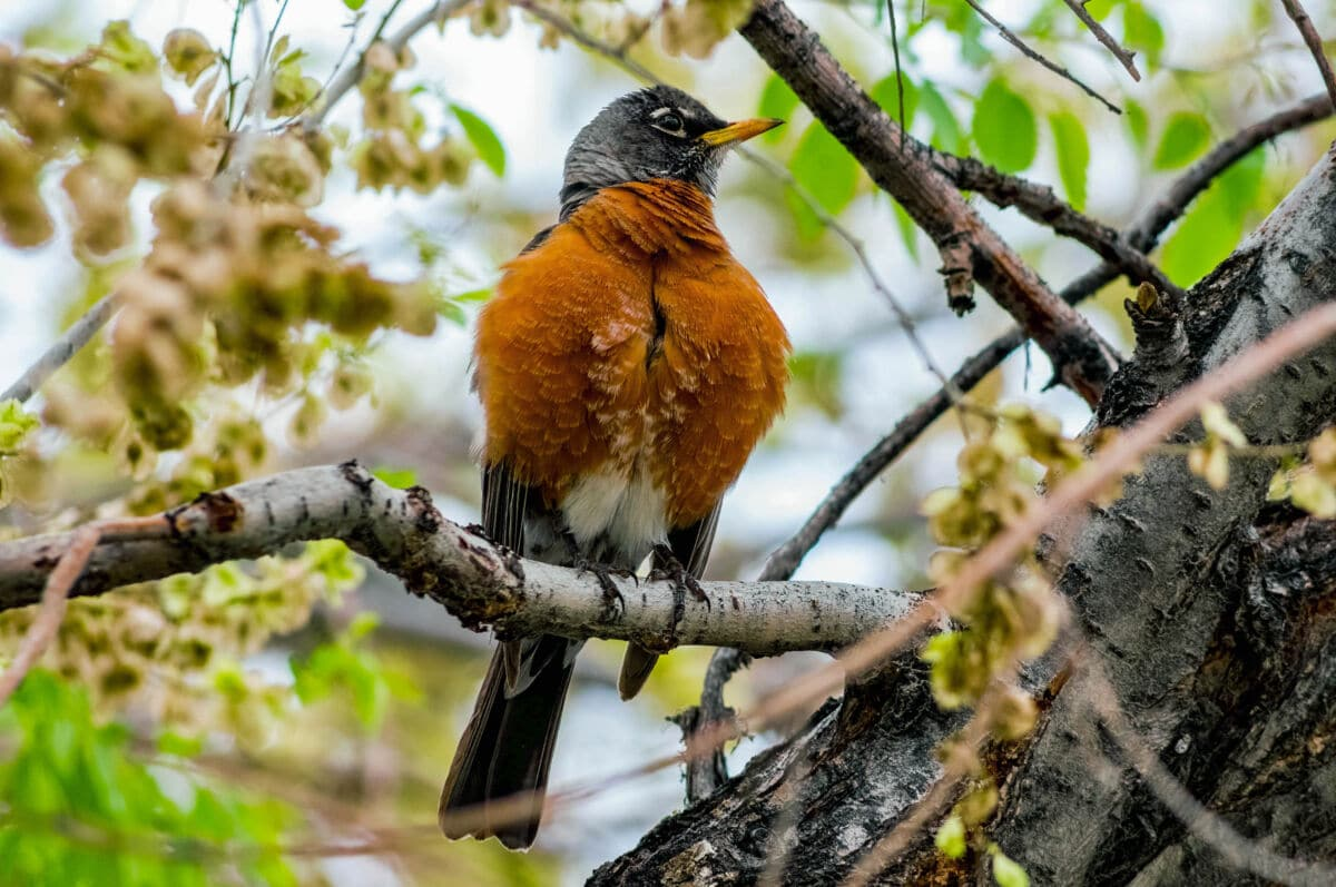 An american robin sitting produly on a tree branch