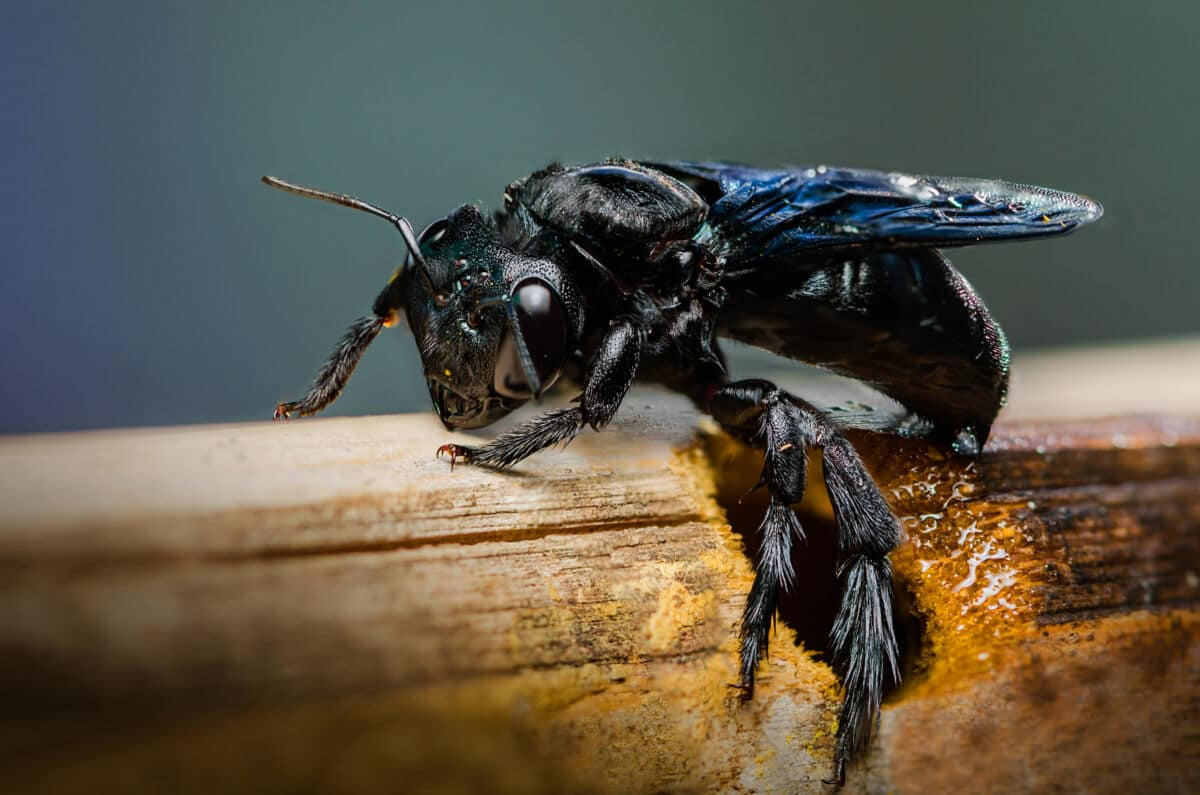 Macro shot of a black carpenter bee