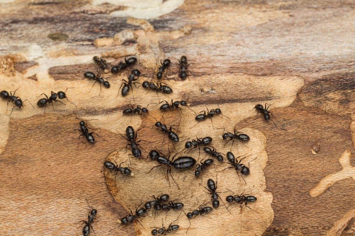 carpenter ants in wood