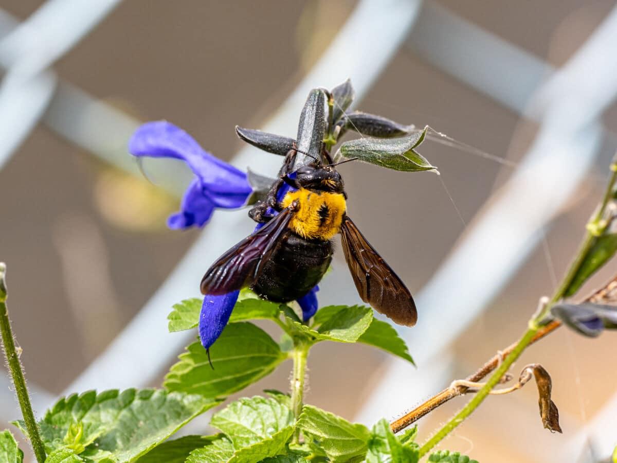 A carpenter bee on a blue flower