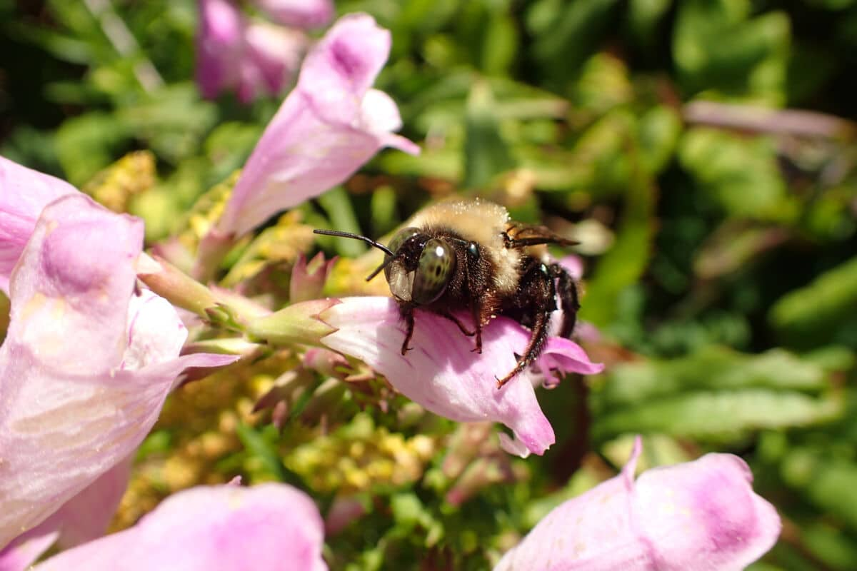 carpenter bee on pink flower