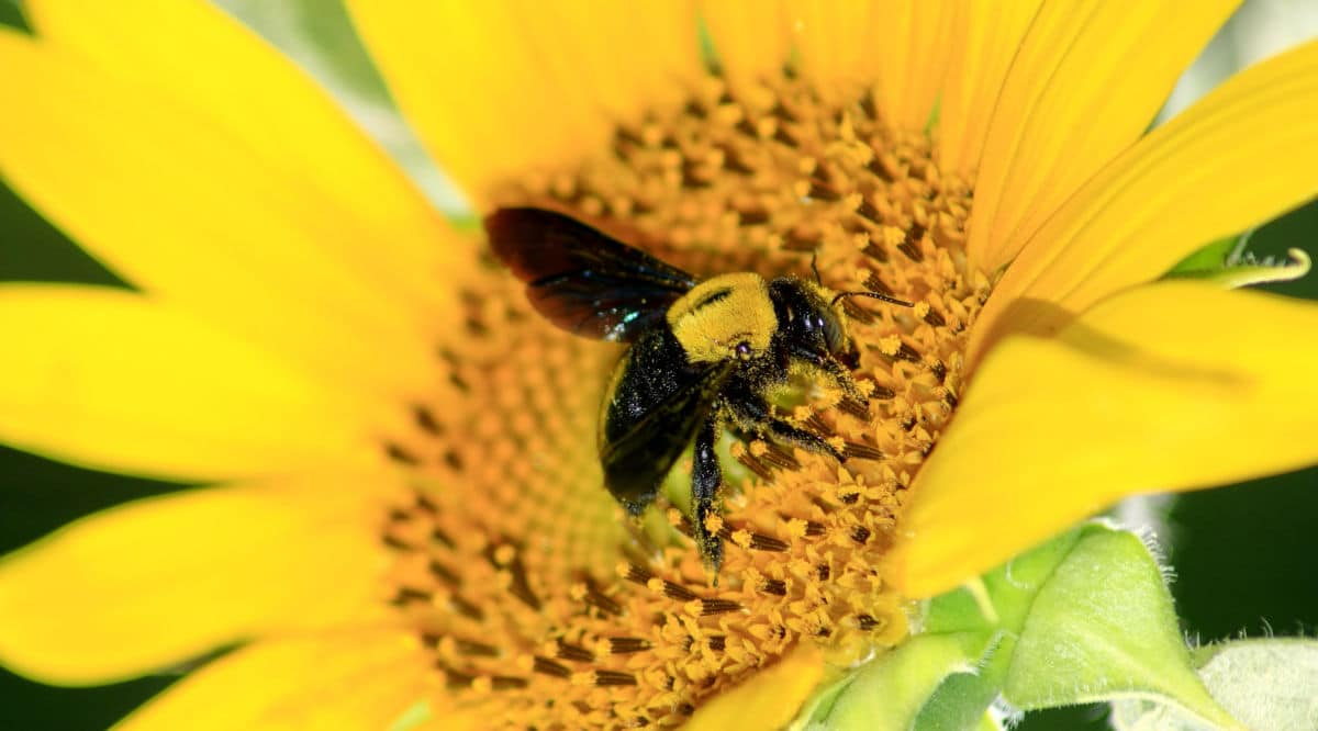 A carpenter bee eating from a sunflower