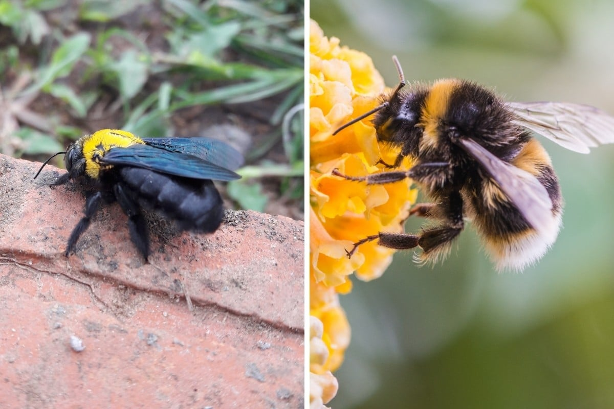 carpenter vs bumblebee, side by side in two close up macro photos