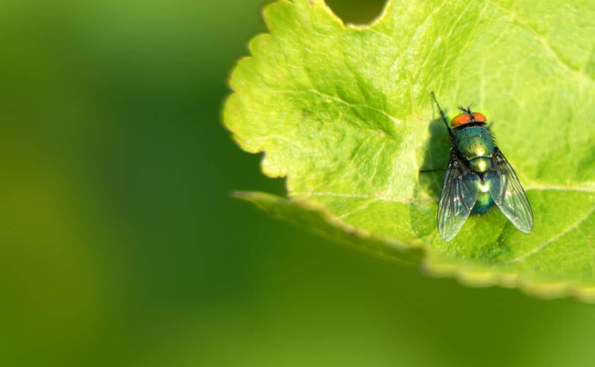 Wide angle shot of a cluster fly on a bright green leaf