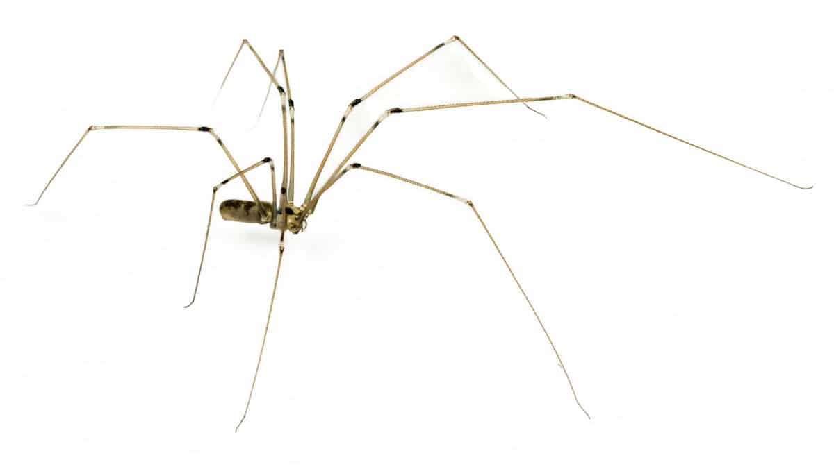 Daddy long legs spider isolated on white