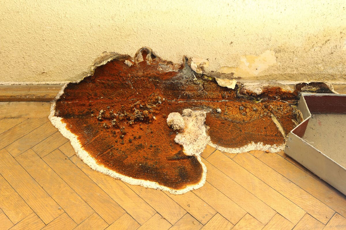 A fruiting dry rot fungus at the base of a wall