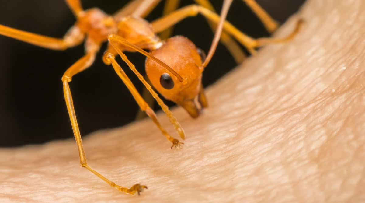 Macro shot of a fire ant biting human skin