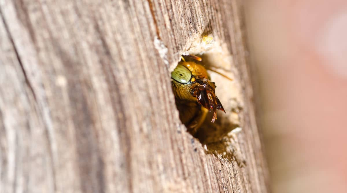 A carpenter bee emerging from a hole in wood it has formed