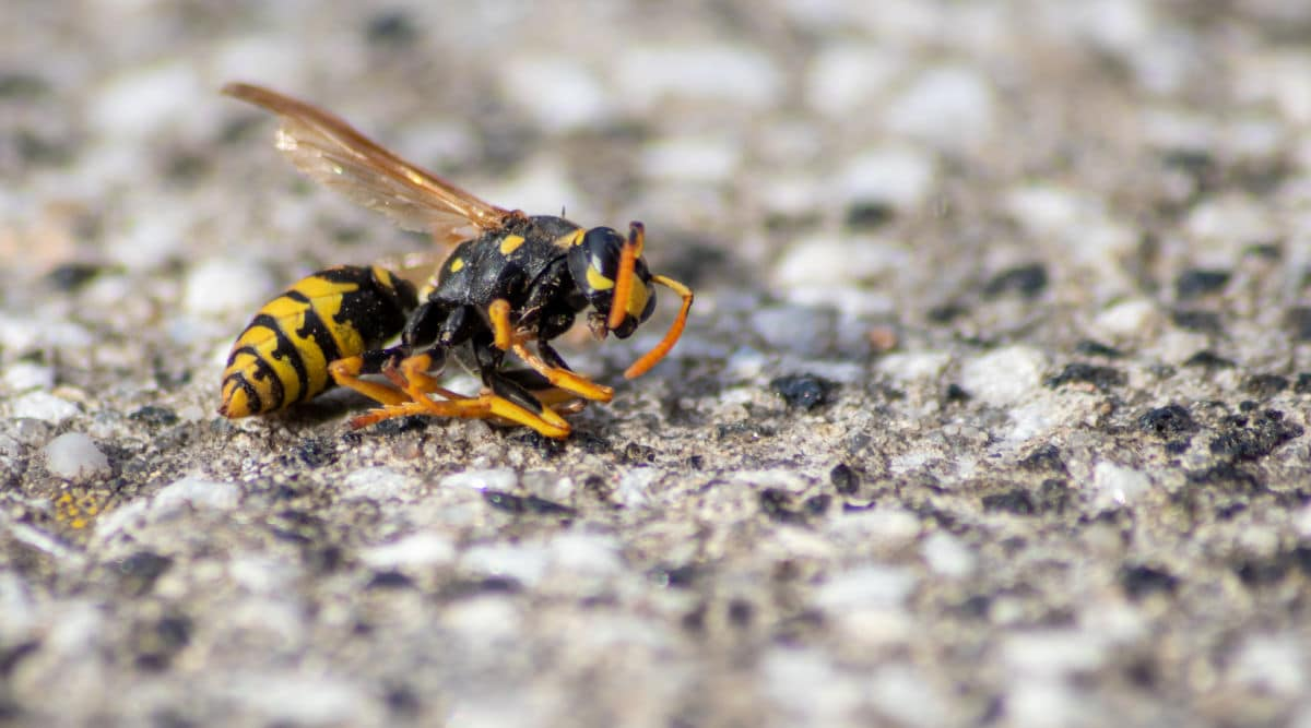 A dead wasp laying on what looks like a gravel road