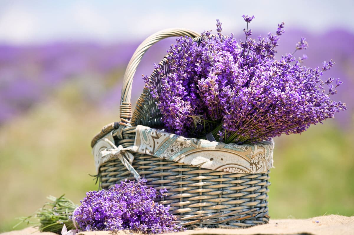 A basket of lavender against a blurred background of the countryside