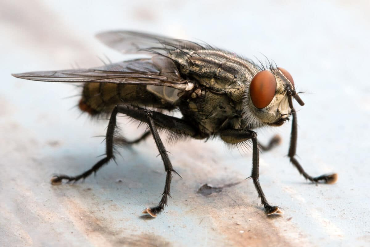 Macro shot of a cluster fly