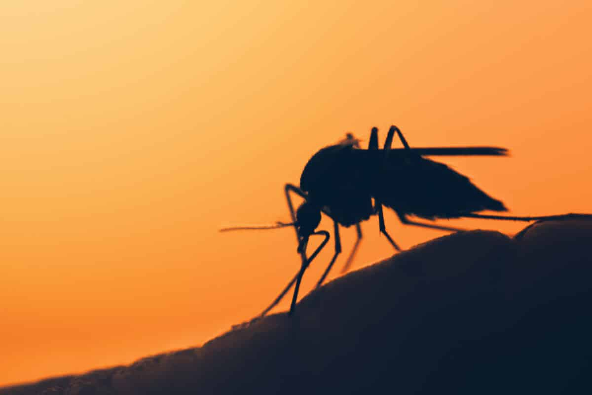 Silhouette of a mosquito against a sunset sky