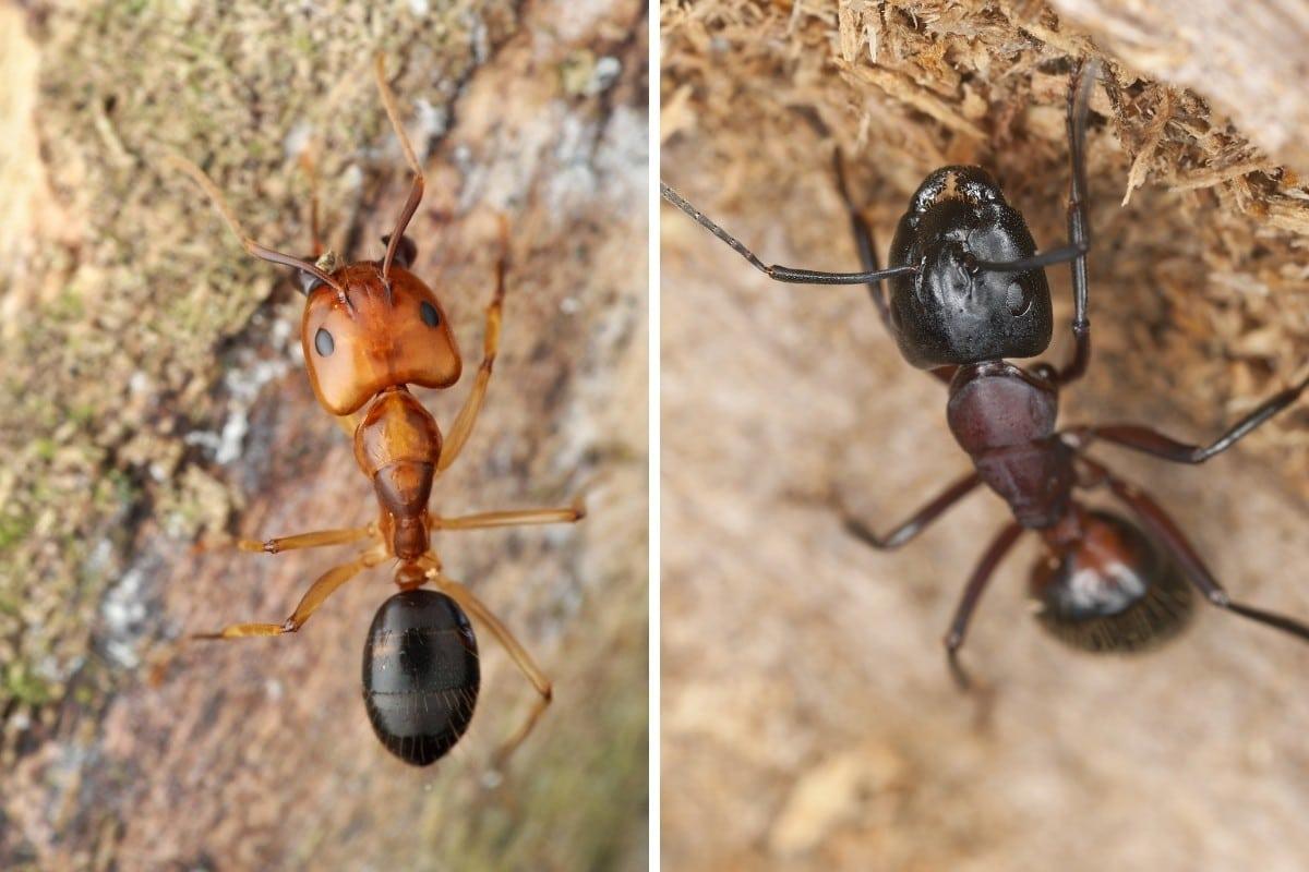 A comparison photo of a red vs black carpenter ant