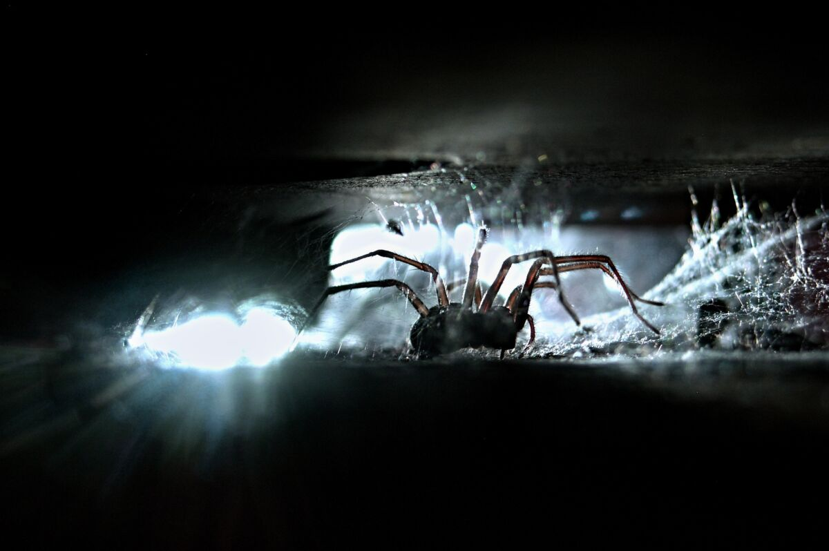 Backlit image of a spider hiding in a crack in a home