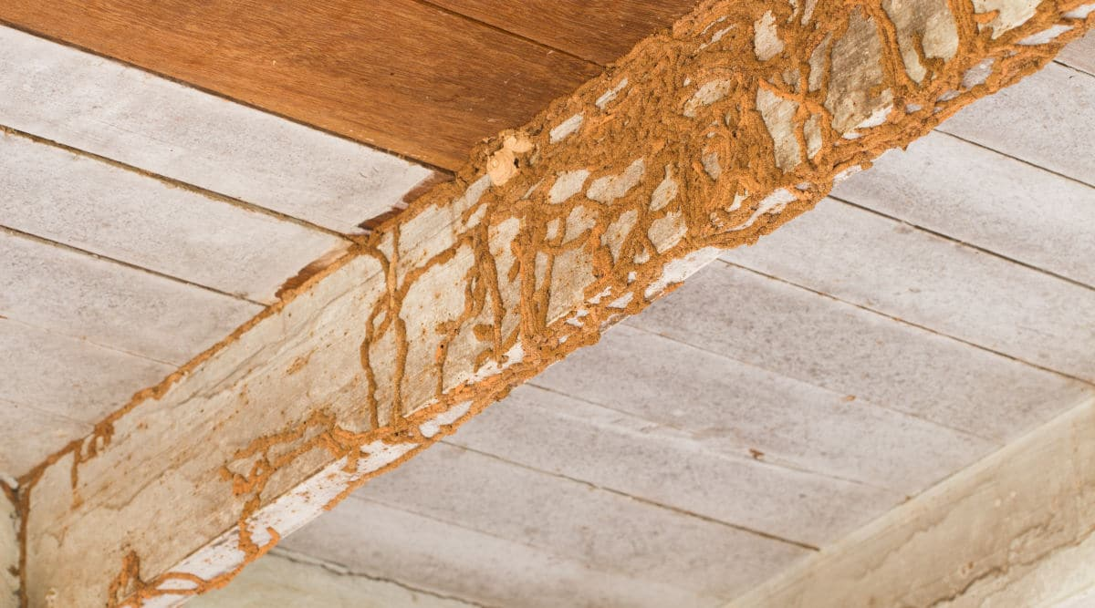 Termite damage on some internal wood in a ceiling space