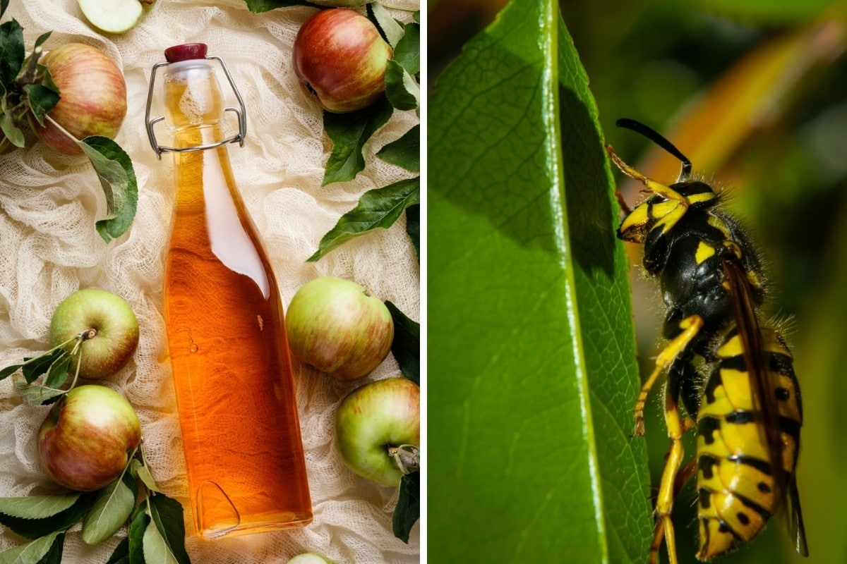 Two photos, one each of vinegar and a hornet side by side