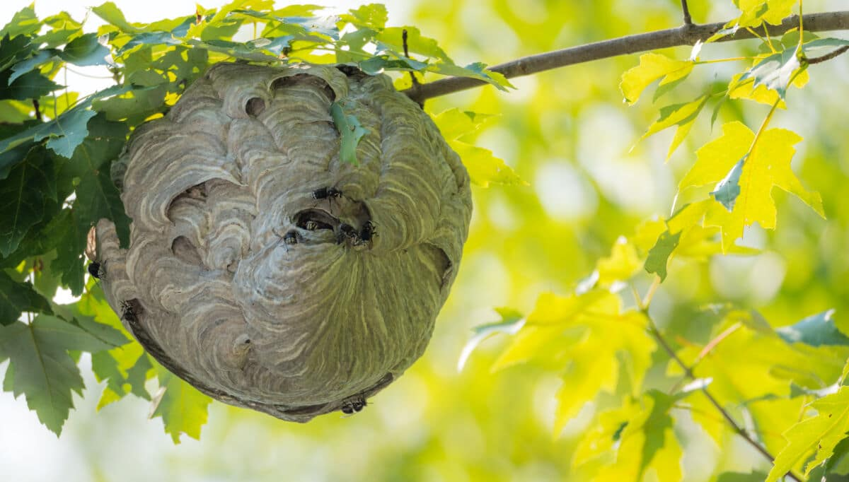 A wasp nest hanging from a tree