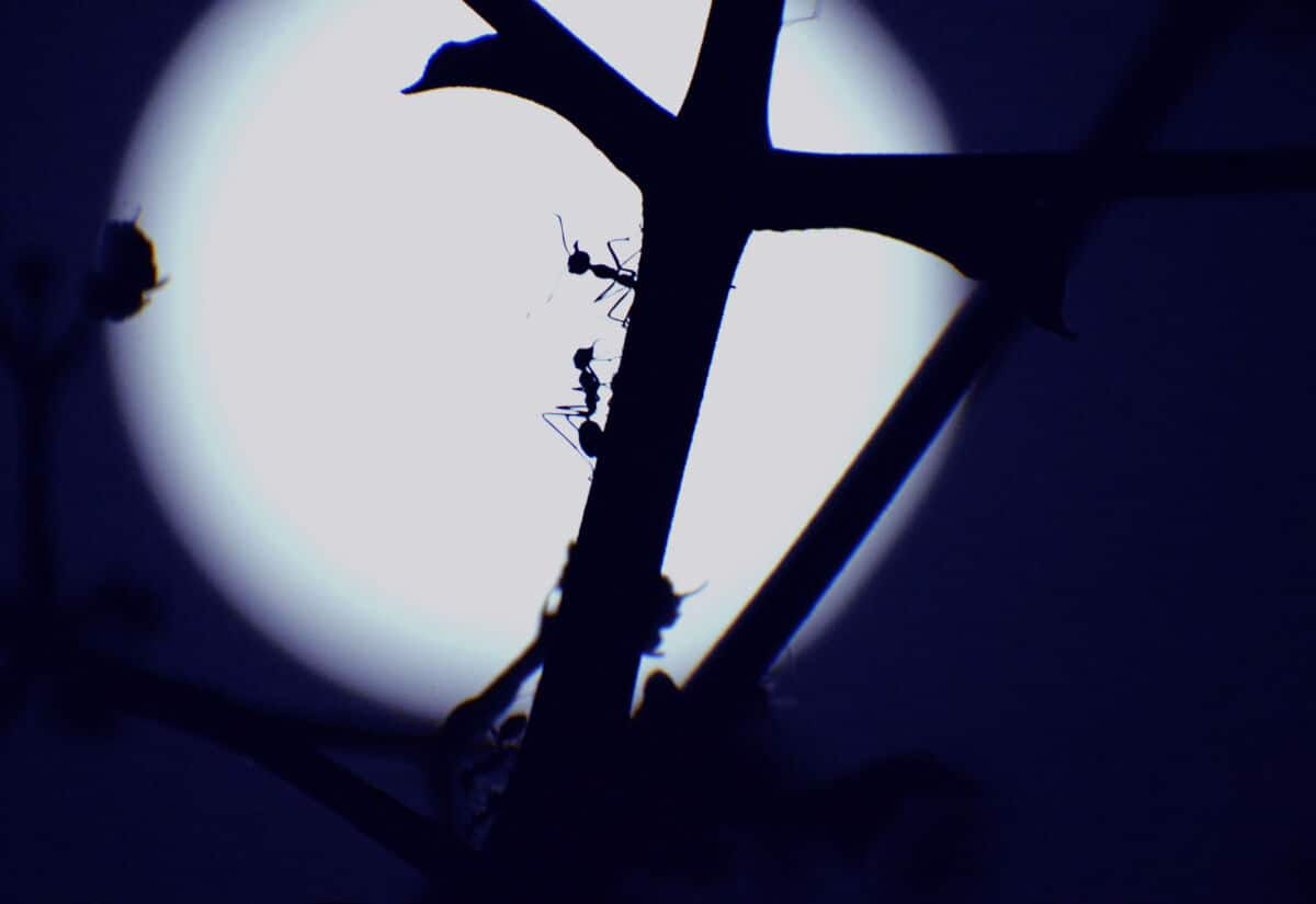 Silhouette of ants climbing a stick against the moonlight