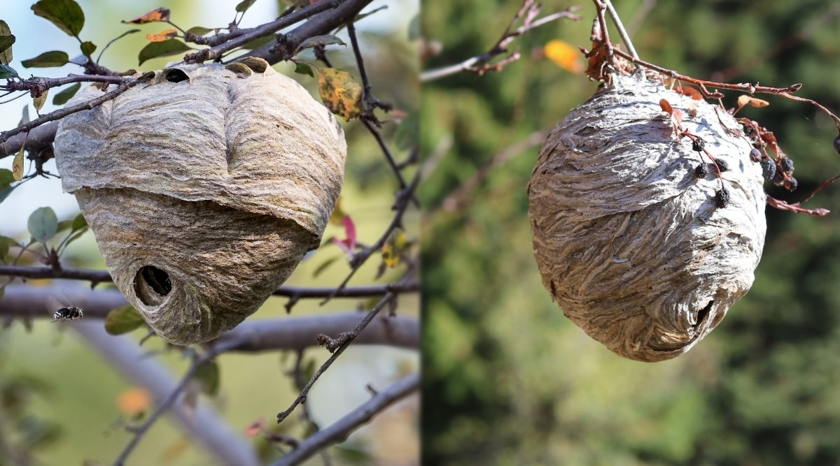 Hornet vs Yellow Jacket Nests