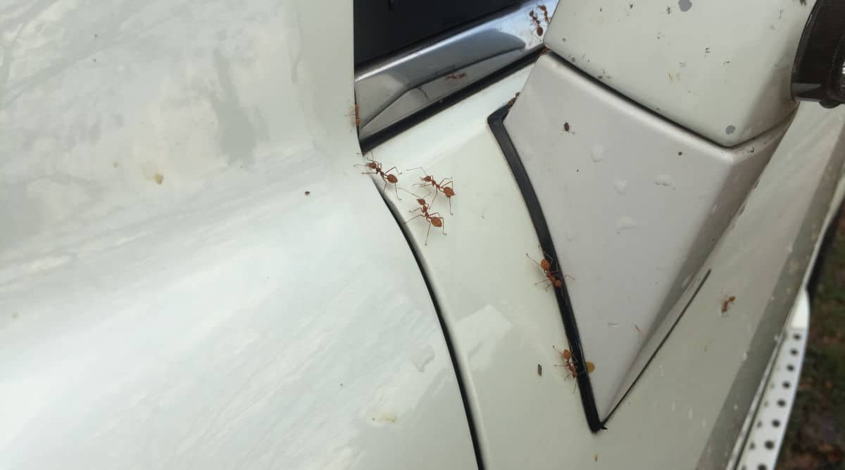 Close up of red ants on a white car, near the wing mirror