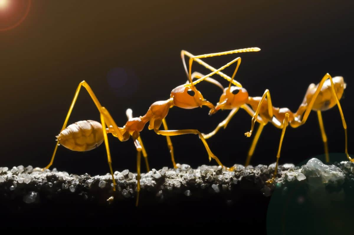 Two crazy ants, face to face on a small branch or twig