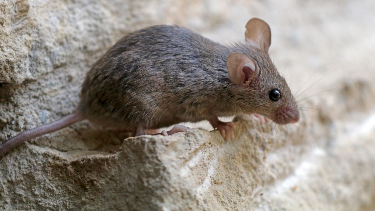 A house mouse sitting on some grey bricks