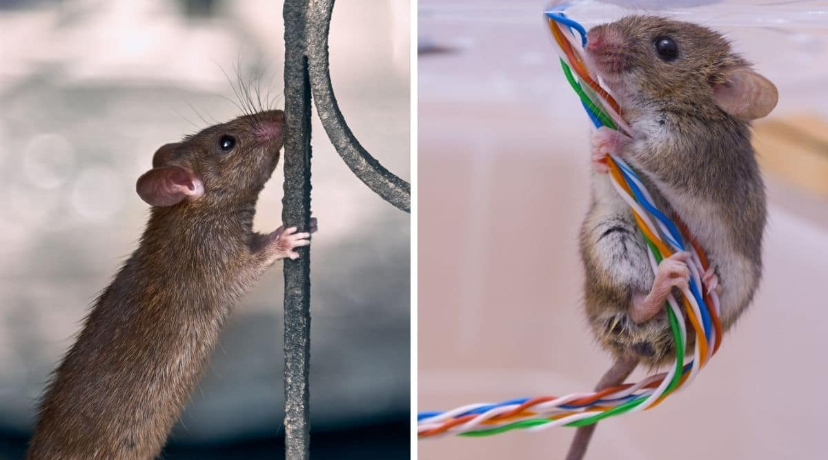 Two photos, one each of a rat leaning on a fence railing, and a mouse hugging some colored wires