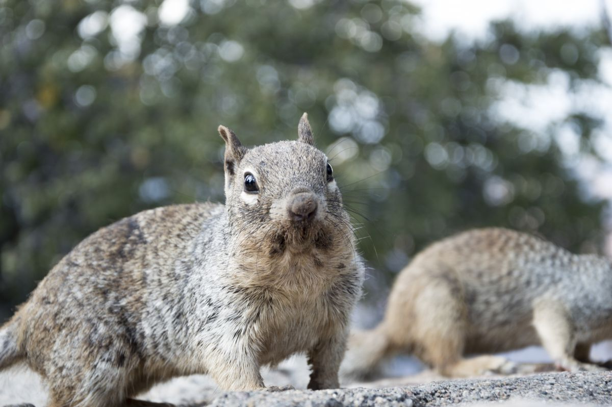 A grey, american squirrel sitting looking into the camera