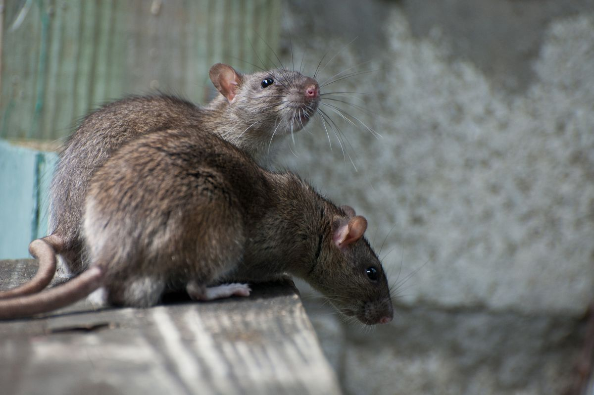Side view two brown house rats sitting on a wooden table
