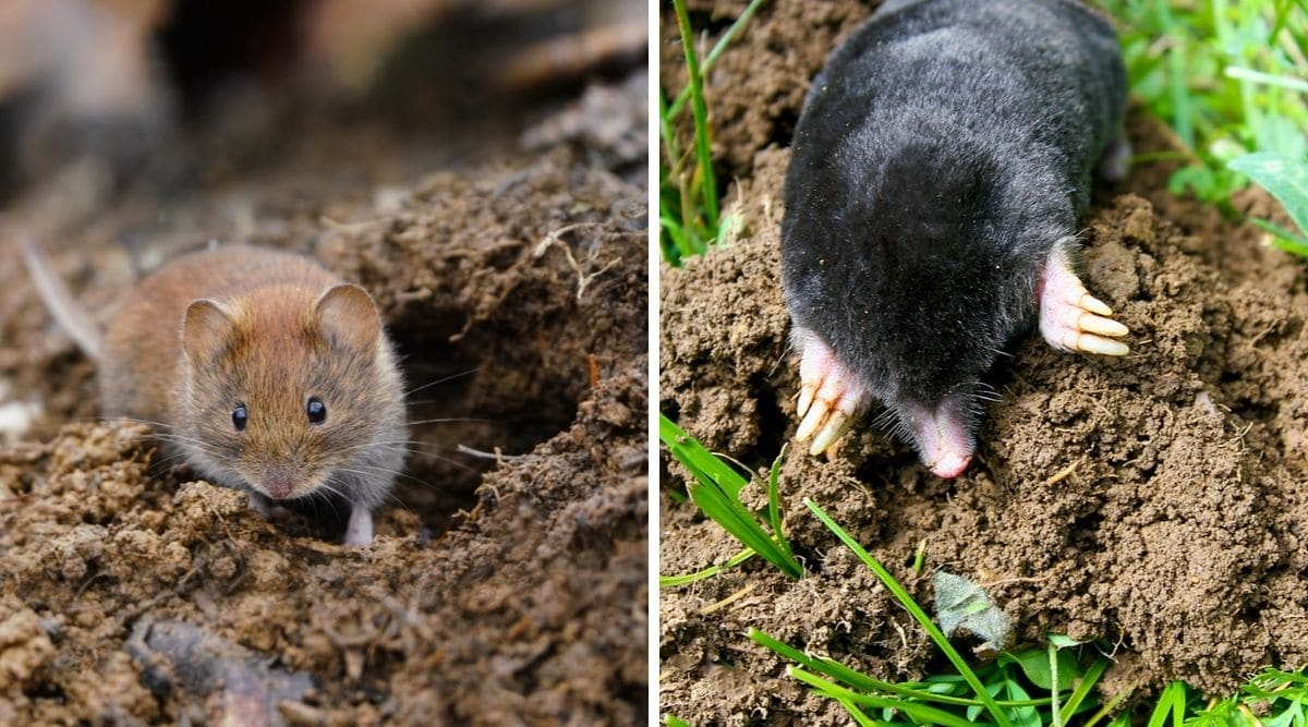 Two photos, one each of a vole and a mole, both on grass and mud