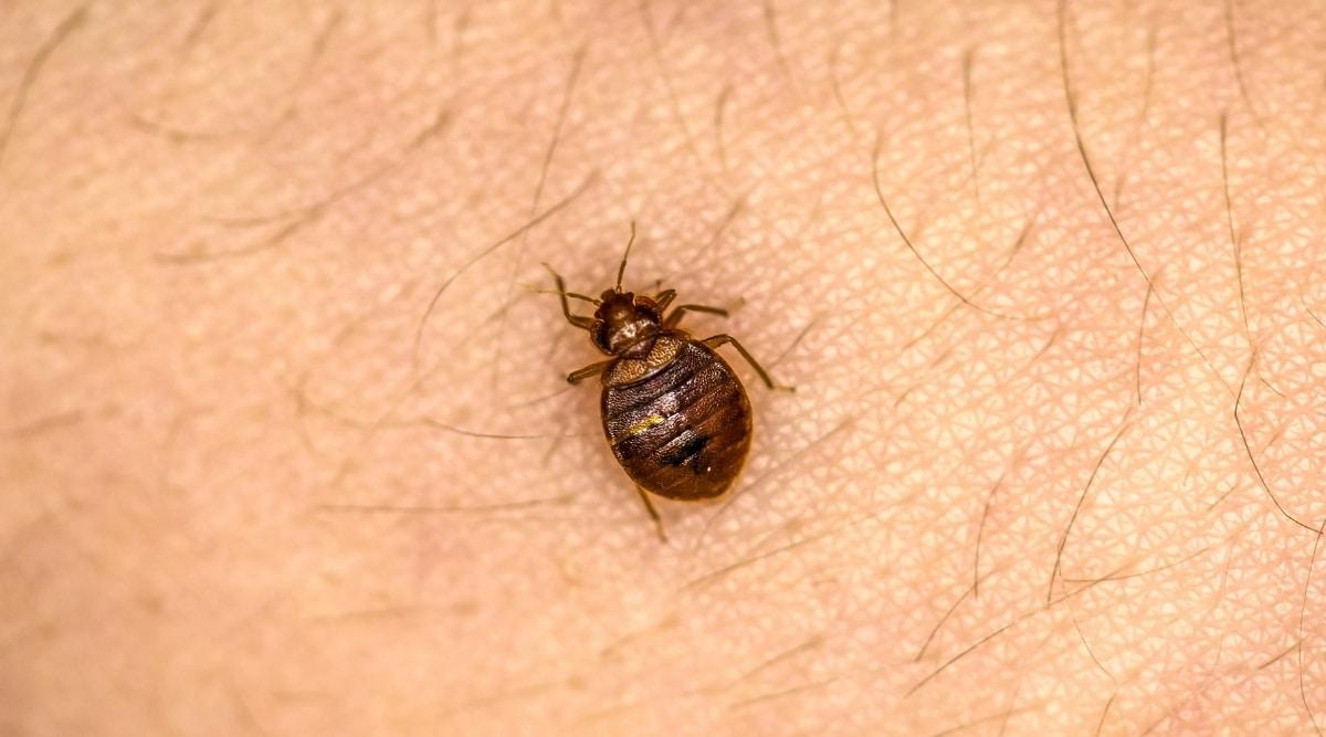 Bed Bug Feeding on Human