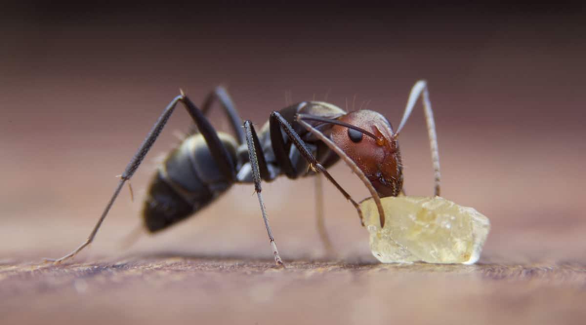 Macro close up shot of a sugar ant eating a sugar crystal