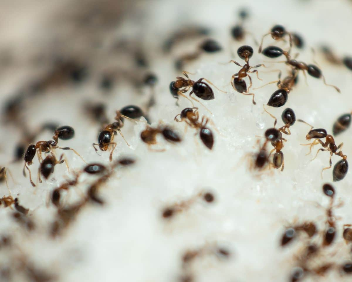Many ants swarming over a pile of sugar