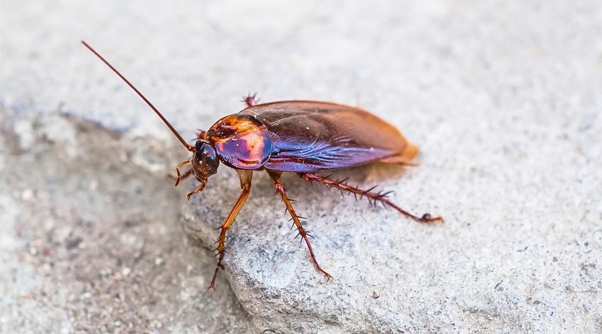 Cockroach on Ground