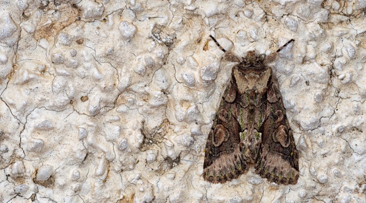 Moth on Wall
