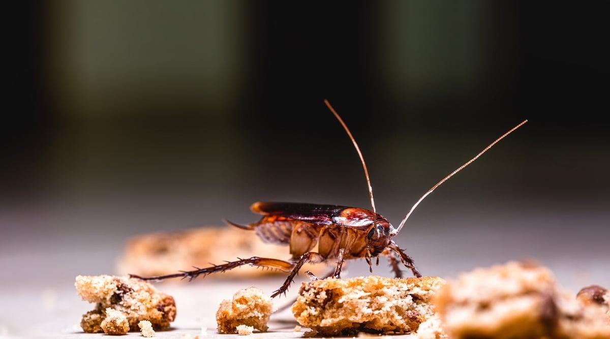 Roach Eating Crumbs
